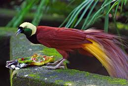 makanan burung cendrawasih