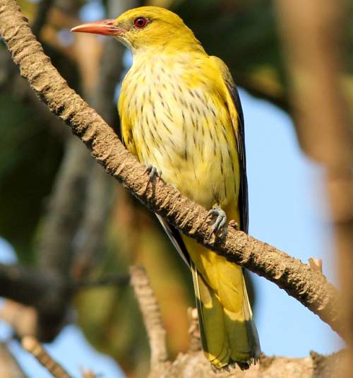 Photo of golden oriole female - Oriolus kundoo