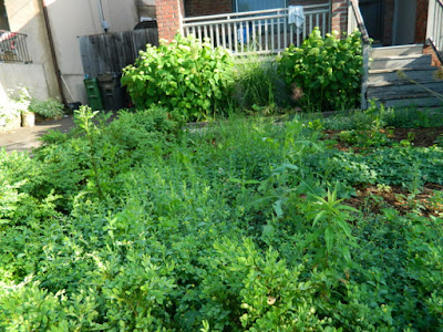 Wychwood Toronto Pollinator Garden Makeover Before by Paul Jung Gardening Services--a Toronto Organic Gardener