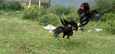 Cara meningkatkan pukulan ayam bangkok aduan