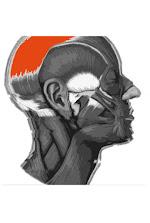 Músculos de la cabeza imagen