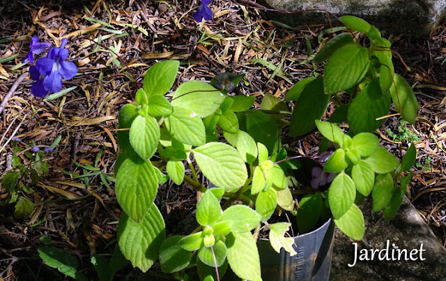 Folhagem Violeta pendente - Streptocarpus saxorum