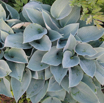 Halcyon blue hosta