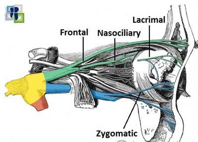 العصب العيني OPTHALMIC NERVE