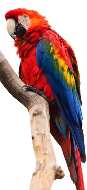 خلفية ببغاء أحمر طويل الذيل يقف على جذع شجرة