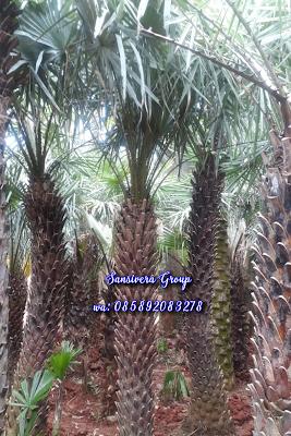 Palm Copernicia