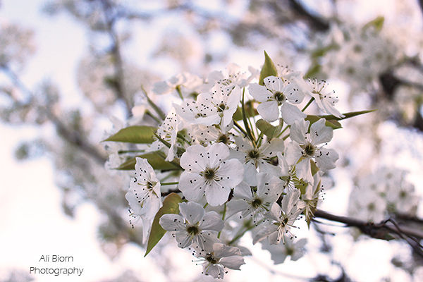 tiny white flower blossoms on tree