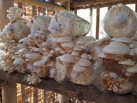 Daftar Jamur yang Bisa Dikonsumsi Berdasarkan Tempat Hidupnya