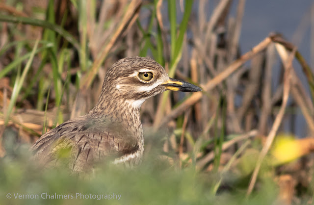 Thick-Knee in the Table Bay Nature Reserve Copyright Vernon Chalmers Photography