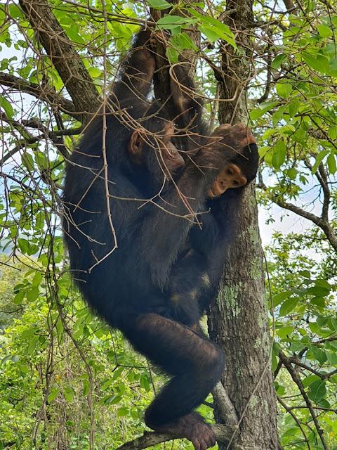 Trekking com chimpanzés na Tanzânia