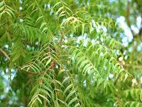 Mengenal Fungsi Daun Dan Pohon Intaran (Mimba)