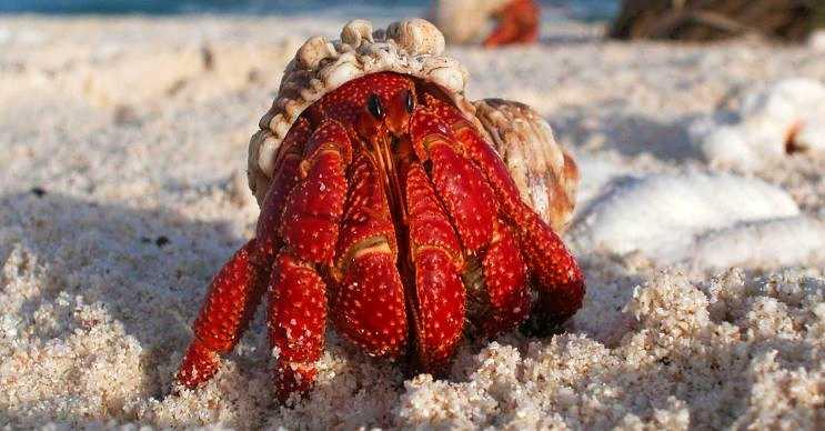Deniz kabuğu canlısı olarak bilinen türlerden biri olan bu canlı oldukça ürkektir.
