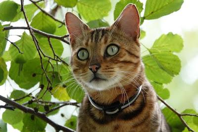 القط البنغالي : Bengal Cat