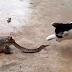 Gato Fue Atacado Por Una Serpiente Que Es Devorada Por Un Sapo