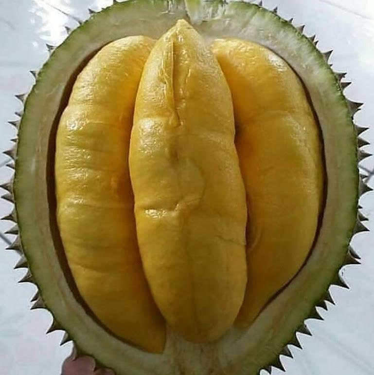 bibit durian bawor super cepat berbuah Bengkulu