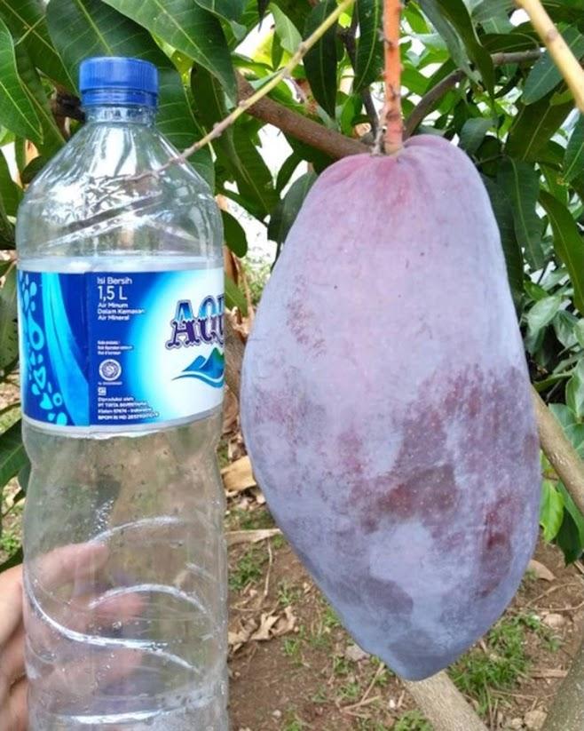 Bibit tanaman mangga red emperor VALID BELI 3 BONUS BIBIT ANGGUR Pasuruan