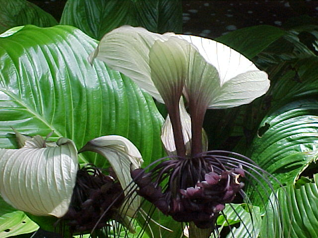 The White Bat Plant Tacca Integrifolia The Garden Of Eaden