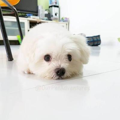 perro maltes comida