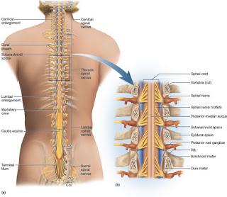 Sylvia's Spinal Cord Repair
