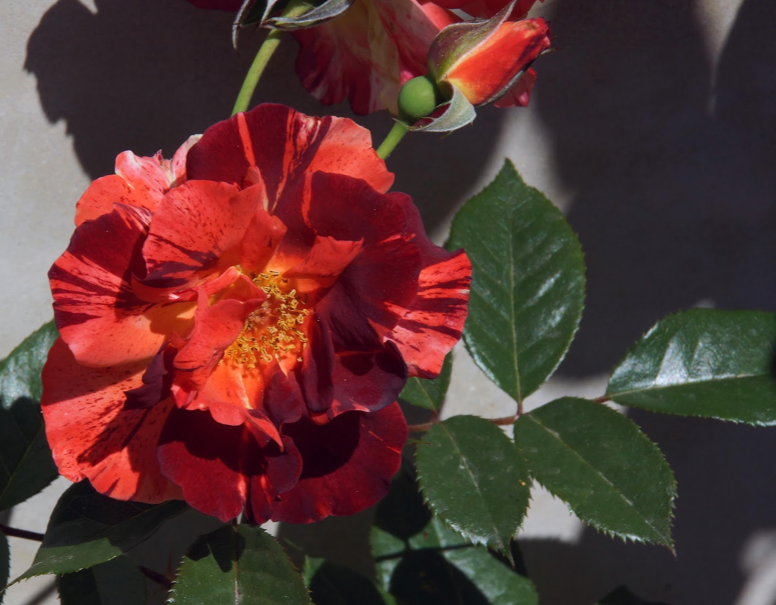 Rose 'Tropical Lightning'