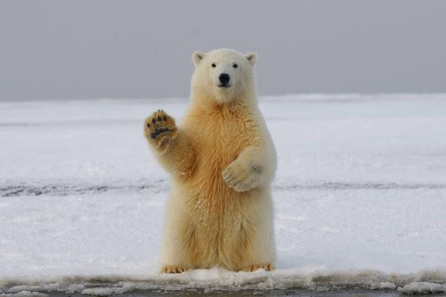 Medvjedi bijelo žute dlake.