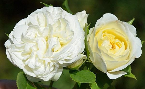 Friedenslicht роза фото
