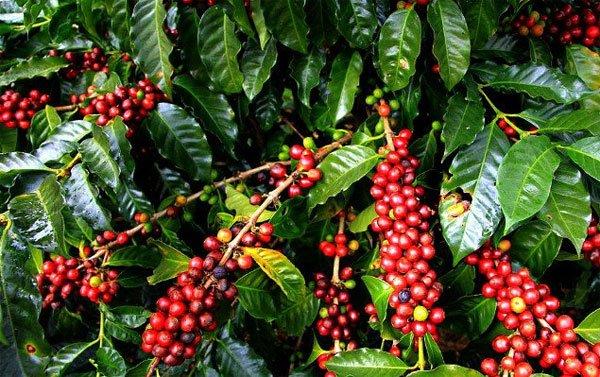 Giá cà phê hôm nay 3/6: Tiếp tục tăng 100 - 200 đồng/kg.
