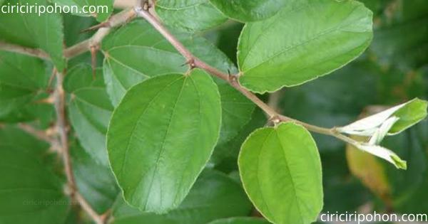 ciri ciri pohon daun bidara