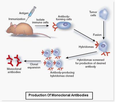 DIGBUSEL - Tim Cina Menemukan Antibodi Monoklonal Manusia Yang Menghambat Infeksi Coronavirus
