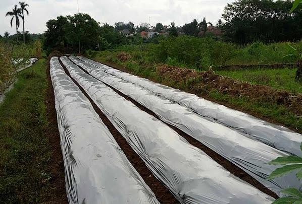 lahan perkebunan cabai merah
