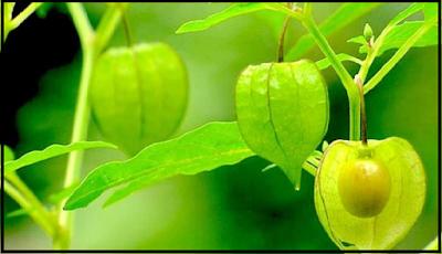 Manfaat buah ciplukan untukk kesehatan