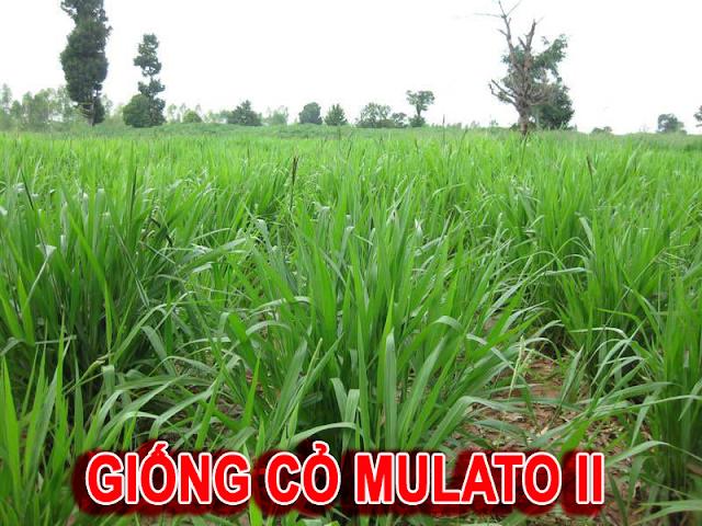 Danh sách các loại giống cỏ nuôi trâu tốt nhất hiện nay