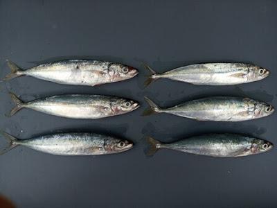 Anak ikan lajang umpan mancing ikan laut malam hari.jpg
