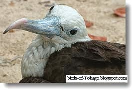 Magnificent Frigatebird (Fregata magnificens) close up photo