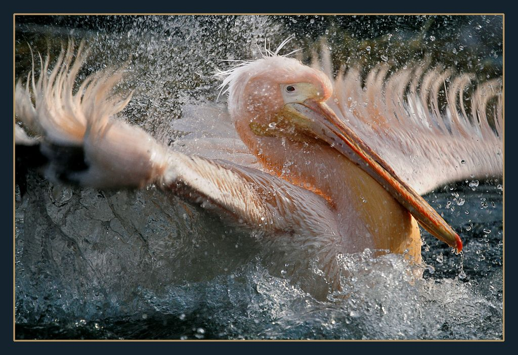 12. lovely Pelican