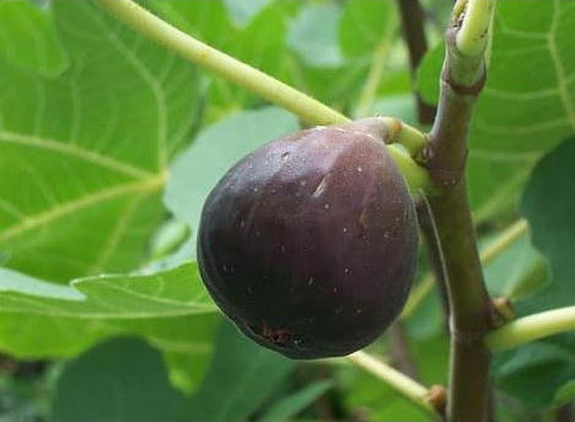 stok ready Bibit Tanaman Buah Tin Ungu buah ara ungu terlaris Nusa Tenggara Timur