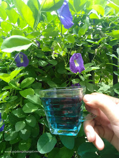 Pengalaman Mengkonsumsi Air Ekstrak Bunga Telang