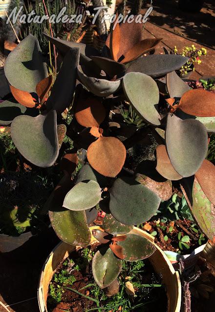 Otra foto de la planta Hojas de Cobre, Kalanchoe orgyalis