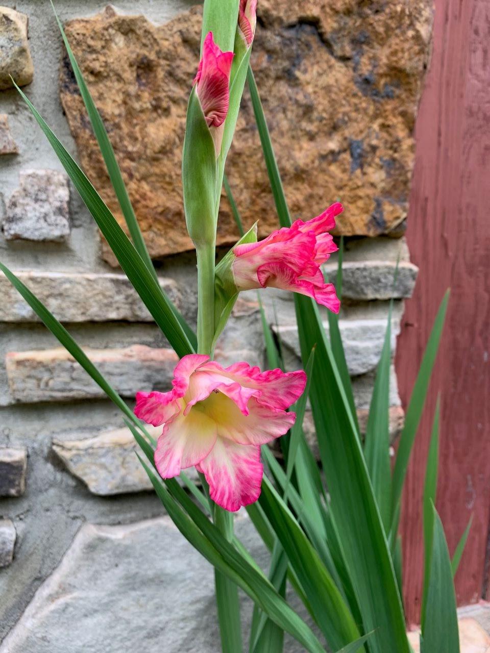 Gladiolus blooms