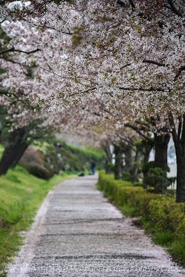 釜山櫻花大渚生態公園