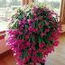 Flor-de-maio: aprenda a cultivar essa linda planta