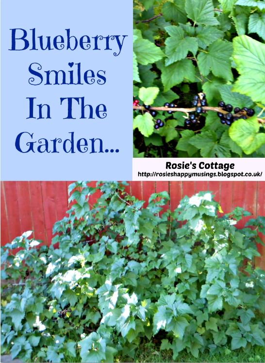 Blueberry Smiles In The Garden