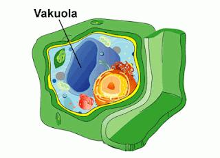 Vakuola (Rongga Sel)