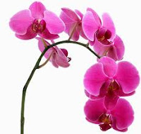 how to rebloom your orchid