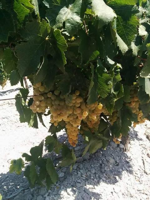 Uvas palomino, las del vino Socaire