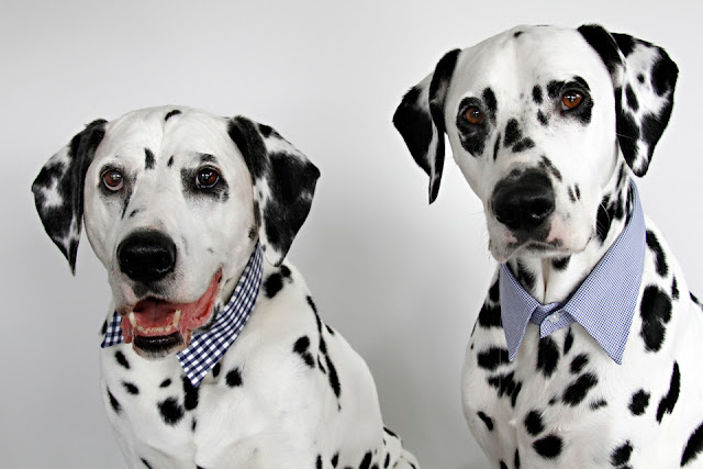 Dalmatian dogs wearing men's shirt collars