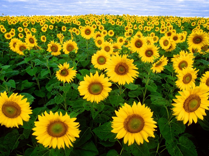 Download Helianthus Crop Field HD wallpaper. Click Visit page Button for More Images.