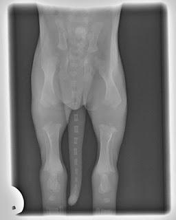 radiografia de ossos de cães bebe