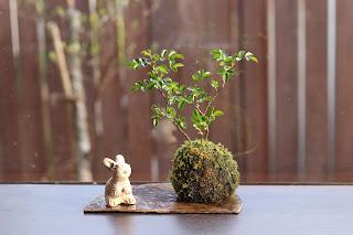 テリハノイバラの苔玉 ウサギの人形と共に