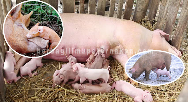 Induk Babi Menyusui